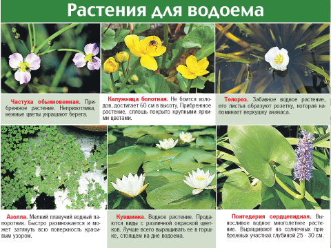 растения пруда