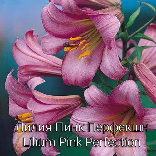 Лилия Пинк Перфекшн Lilium Pink Perfection
