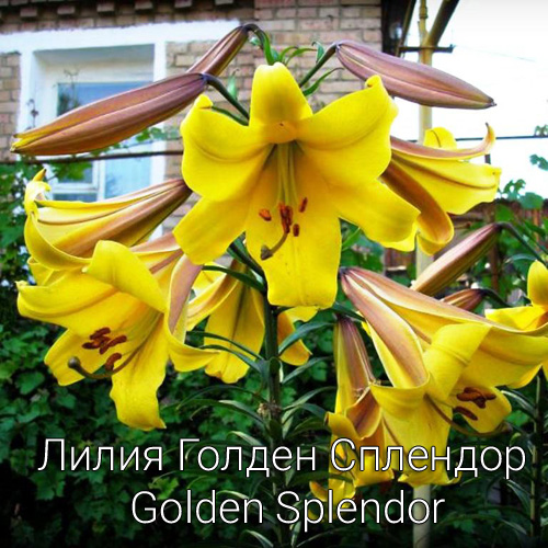 Лилии Голден Сплендор Golden Splendor