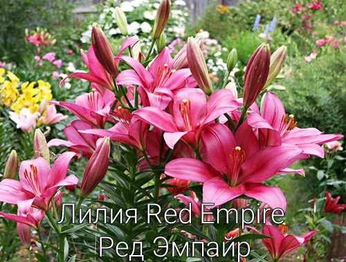 Лилия Red Empire Ред Эмпайр