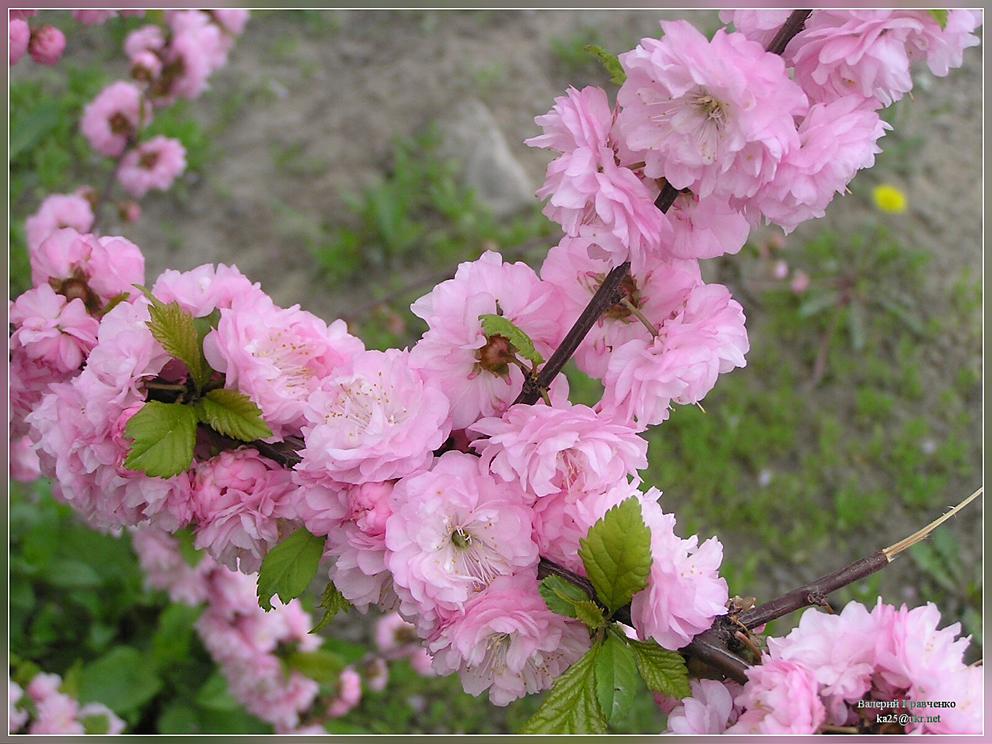 Декоративный миндаль - отличное растение для красивой ...