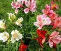 Альстремерия из семян или рассадой