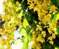 Петровитекс бамбуковидный
