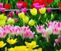 Селекция тюльпанов