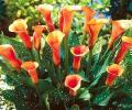 Каллы садовые, выращивание и уход