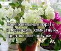 Как правильно реанимировать и пересадить комнатный цветок после покупки