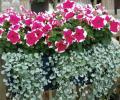 Ампельные растения. Вопрос-Ответ