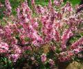 Миндаль - пена розовых цветов