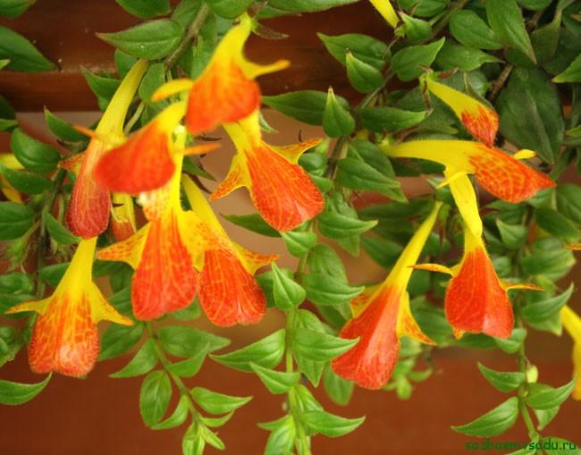 комнатный цветок колумнея