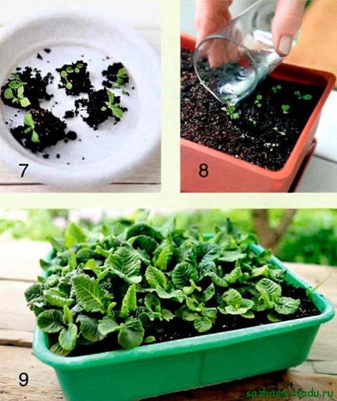 Как вырастить примула из семян в домашних условиях фото